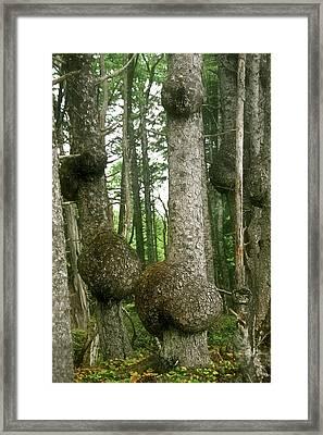 Sitka Spruce Burls On The Olympic Coast Olympic National Park Wa Framed Print by Christine Till