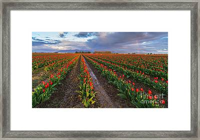 Skagit Tulip Fields Red Rows And Rainbow Framed Print by Mike Reid