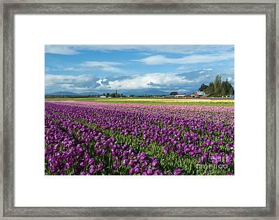 Skagit Tulip Storm Framed Print by Mike Dawson