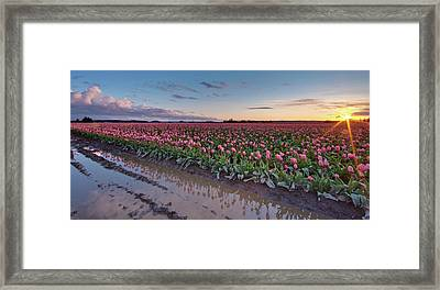 Skagit Valley Tulip Reflections Framed Print by Mike Reid