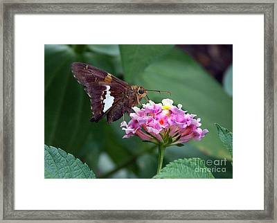 Skipper Framed Print by Skip Willits