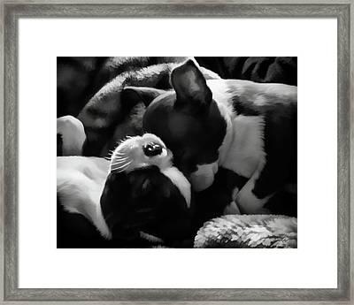 Sleeping Beauties - Boston Terriers Framed Print by Jordan Blackstone