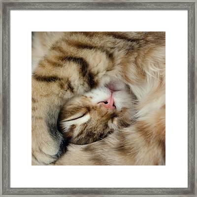 Sleeping Kitten Framed Print by John Janicki