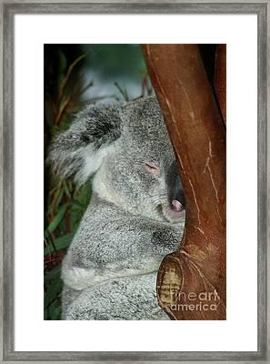 Sleeping Koala Framed Print by Mariola Bitner