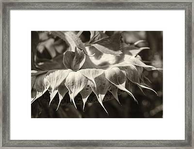 Sleepy In Sepia Framed Print by Christi Kraft