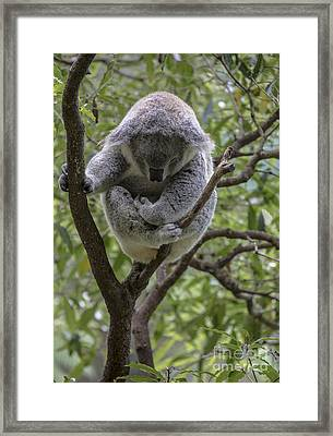 Sleepy Koala Framed Print by Avalon Fine Art Photography
