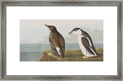 Slender-billed Guillemot Framed Print by John James Audubon