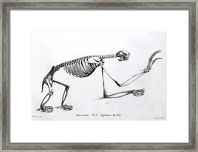 Sloth Skeleton, Cuvier, 1812 Framed Print by Paul D. Stewart
