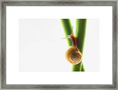 Small Snail On The Way Up Framed Print by Tanja Riedel