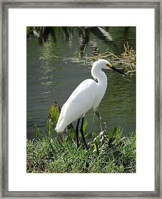Snow Egret Framed Print by William Albanese Sr