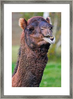 Smiling Camel Framed Print by Naman Imagery