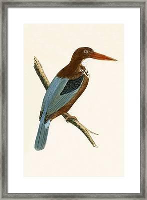 Smyrna Kingfisher Framed Print by English School