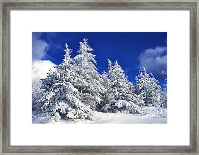 Snow-covered Pine Trees Framed Print by Thomas R Fletcher