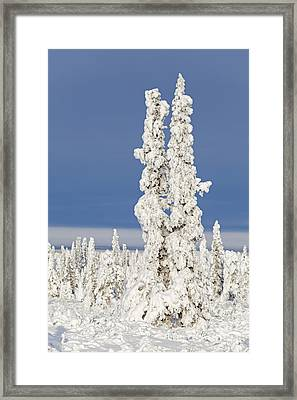 Snow Covered Spruce Trees Framed Print by Tim Grams
