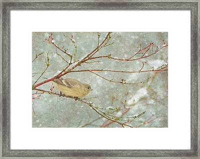 Snow Finch Framed Print by Angie Vogel