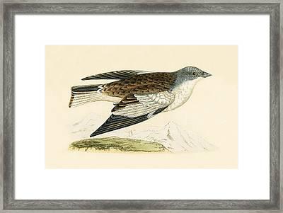 Snow Finch Framed Print by English School
