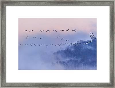 Snow Geese Framed Print by Austin Li