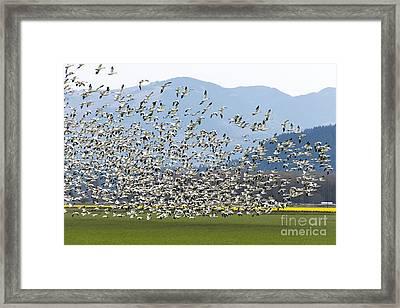 Snow Geese Exodus Framed Print by Mike Dawson