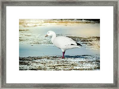 Snow Goose - Frozen Field Framed Print by Robert Frederick