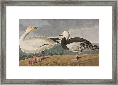 Snow Goose Framed Print by John James Audubon