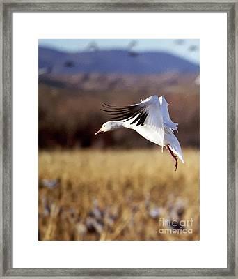 Snow Goose Framed Print by Steven Ralser