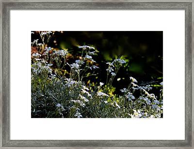Snow In Summer Framed Print by Hanne Lore Koehler