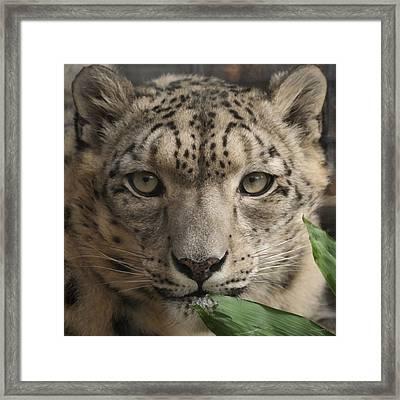 Snow Leopard 13 Framed Print by Ernie Echols