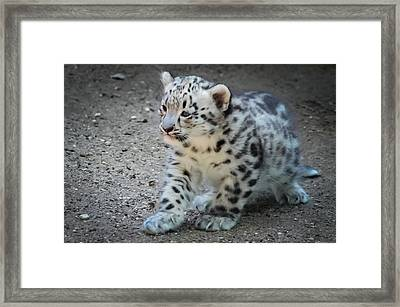 Snow Leopard Cub Framed Print by Terry DeLuco