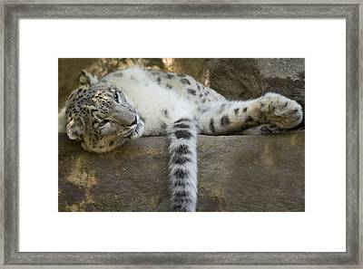 Snow Leopard Nap Framed Print by Mike  Dawson