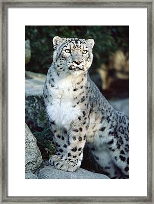 Snow Leopard Uncia Uncia Portrait Framed Print by Gerry Ellis