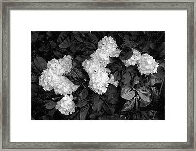 Snowball Bush Framed Print by Tom Mc Nemar