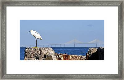 Snowy Egret And Sunshine Skyway Bridge Framed Print by David Lee Thompson