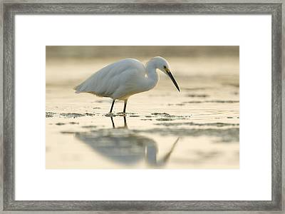 Snowy Egret Foraging Natural Bridges Framed Print by Sebastian Kennerknecht