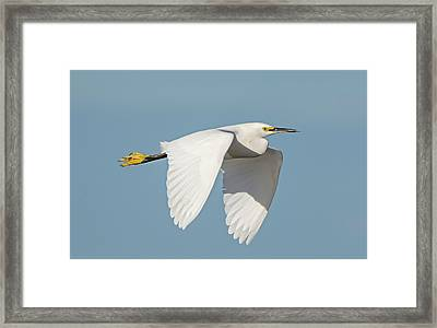 Snowy Egret In Flight Framed Print by Loree Johnson