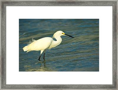 Snowy Egret Framed Print by Rich Leighton