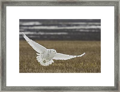 Snowy Owl In Flight Framed Print by Michaela Sagatova