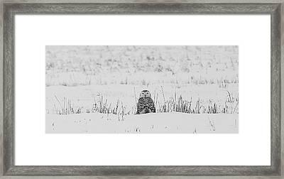 Snowy Owl In Snowy Field Framed Print by Carrie Ann Grippo-Pike