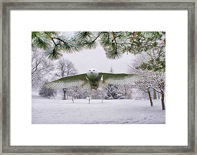 Snowy Owl In Winter Framed Print by Sandra Cockayne
