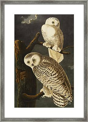 Snowy Owl Framed Print by John James Audubon