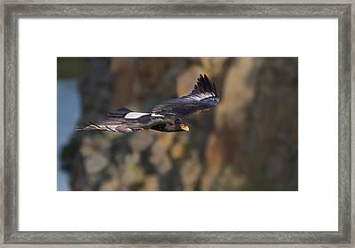 Soaring Black Eagle Framed Print by Basie Van Zyl