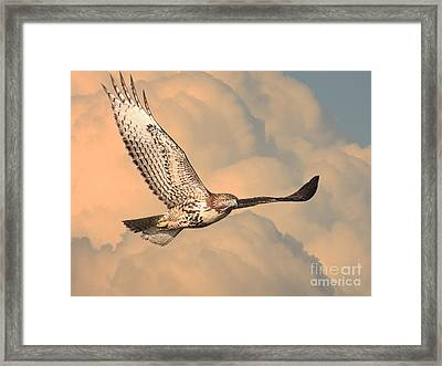 Soaring Hawk Framed Print by Wingsdomain Art and Photography
