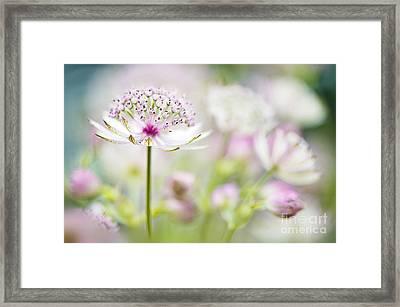 Soft On Astrantia Framed Print by Jacky Parker