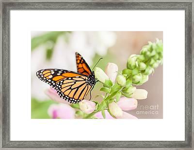 Soft Spring Butterfly Framed Print by Ana V  Ramirez