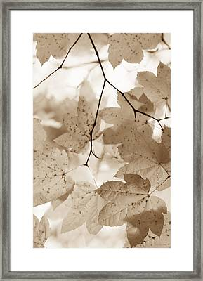 Softness Of Brown Maple Leaves Framed Print by Jennie Marie Schell