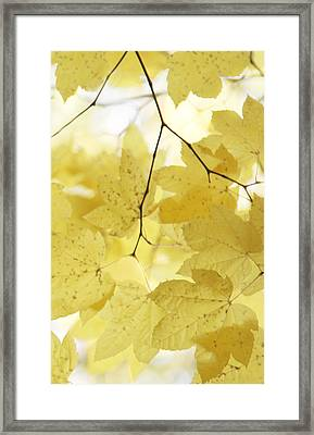 Softness Of Yellow Leaves Framed Print by Jennie Marie Schell