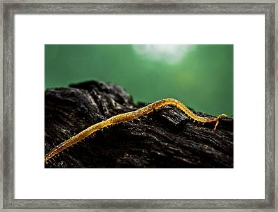 Soil Centipede Framed Print by Ryan Kelly