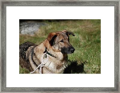 Solemn Face Of A German Shepherd Framed Print by DejaVu Designs