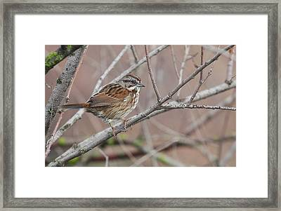Song Sparrow Framed Print by Andrew Johnson