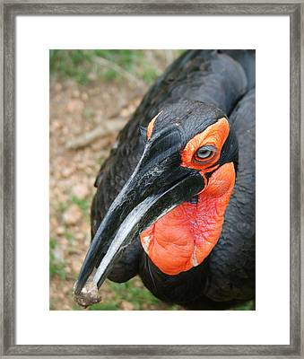 Southern Ground Hornbill Framed Print by Ernie Echols