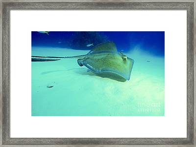 Southern Sting Ray Framed Print by Gregory Ochocki and Photo Researchers